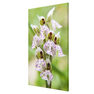 Greece, Crete. Orchid in bloom Orchis Canvas Print