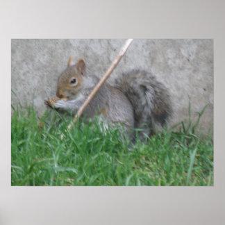 Greedy Gray Squirrel Print Poster