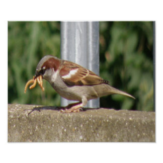 Greedy Sparrow with grubs galore Print