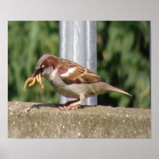 Greedy Sparrow with grubs galore Print