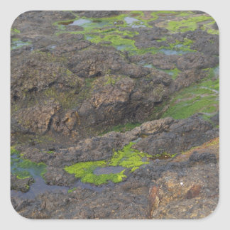 green algae and tide pools on rocks square sticker