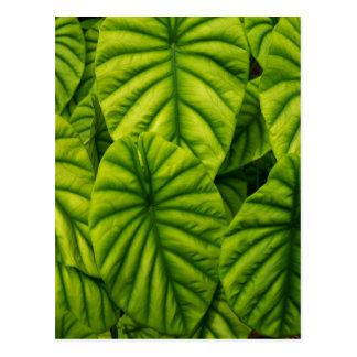 Green Alocasia Cuprea Leaves Hawaii Island Postcard
