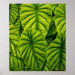 Green Alocasia Cuprea Leaves Hawaii Island Print