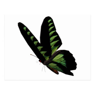 Green and Black Butterfly  Postcard