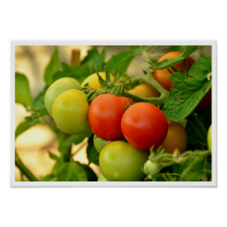 Green and Red Cherry Tomatoes on the Vine Poster