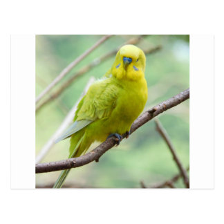 Green and Yellow Budgie Postcards
