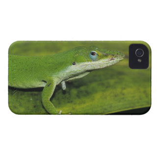 Green Anole, Anolis carolinensis, adult on palm iPhone 4 Cases