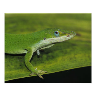 Green Anole, Anolis carolinensis, adult on palm Poster