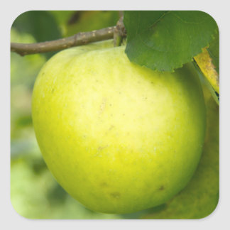 Green Apple on a Tree Branch Square Sticker