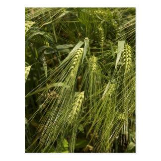 green barley postcard