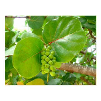 Green Berries Postcard
