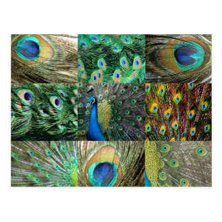 Green Blue Peacock photo collage Post Cards