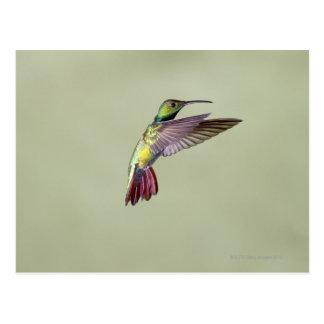 Green-breasted Mango Hummingbird Anthracocorax 2 Postcard