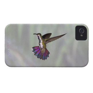 Green-breasted Mango Hummingbird Anthracocorax 3 iPhone 4 Cover