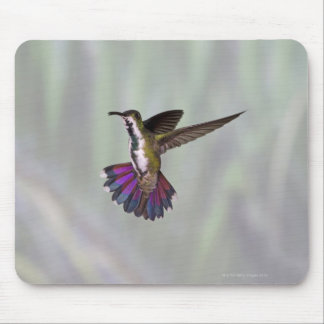 Green-breasted Mango Hummingbird Anthracocorax 3 Mouse Pad