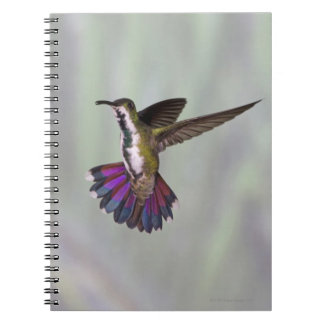 Green-breasted Mango Hummingbird Anthracocorax 3 Notebook