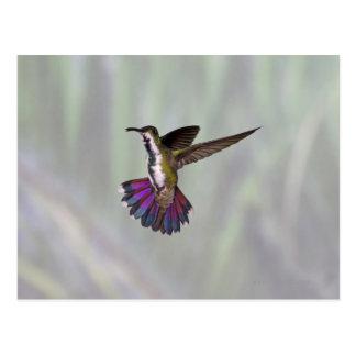 Green-breasted Mango Hummingbird Anthracocorax 3 Postcard