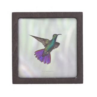 Green-breasted Mango Hummingbird Anthracocorax Gift Box