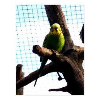 Green Budgie Postcard