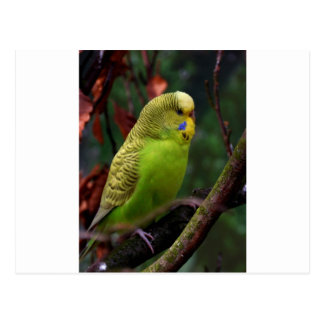 Green Budgie Post Cards