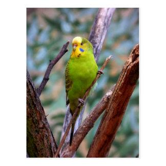 Green Budgie Postcards