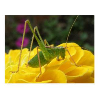Green Bush Cricket Postcard