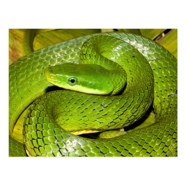 Green Bush Rat Snake