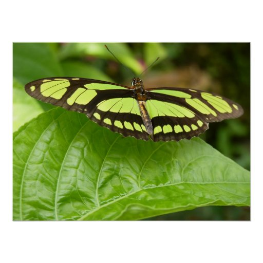 green butterfly posters