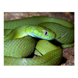 Green cat snake postcard