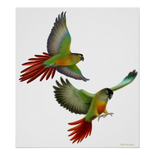Green Cheek Conures Poster