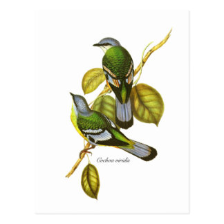 Green Cochoa Post Card