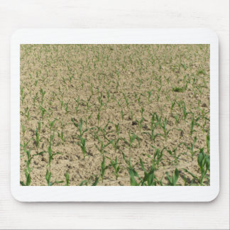 Green corn maize field in early stage mouse pad