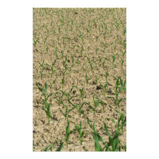 Green corn maize field in early stage stationery