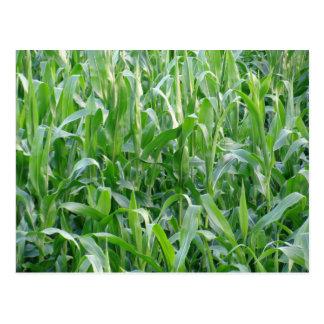 Green cornfield - Postcard