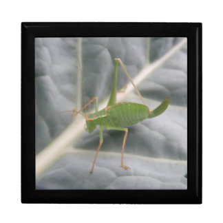 Green Cricket Macro Gift Box