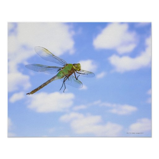 Green darner (Anax junius) flying against Poster