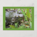 Green Frog postcard postcard