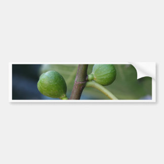 Green fruits of a common fig  tree bumper sticker
