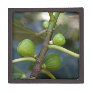 Green fruits of a common fig  tree keepsake box