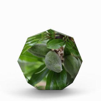 Green fruits of an almond tree acrylic award