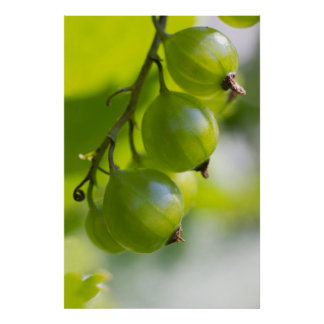 Green Gooseberries CC0208 Wake Up Poster