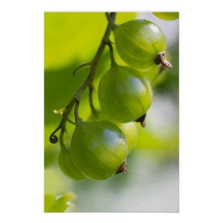 Green Gooseberries CC0324 New Options Poster
