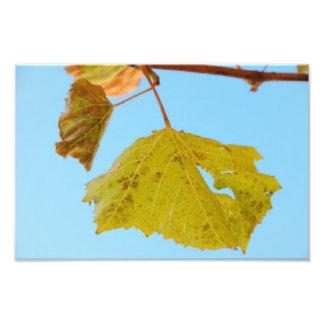 Green grape vine leaf photograph
