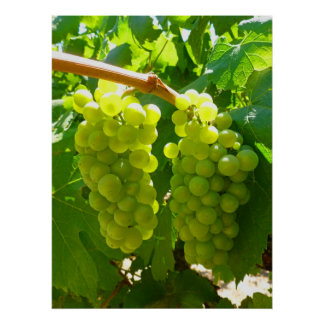 Green Grapes on the Vine Posters