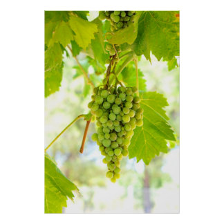 Green grapes on vine poster