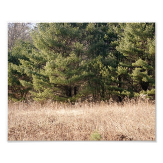 Green Green Pines Photographic Print