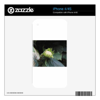 Green hazelnut on the tree in a garden in Tuscany, Decals For The iPhone 4S
