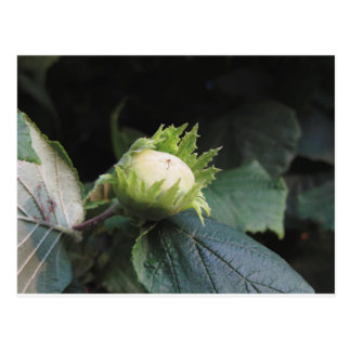 Green hazelnut on the tree in a garden in Tuscany, Postcard