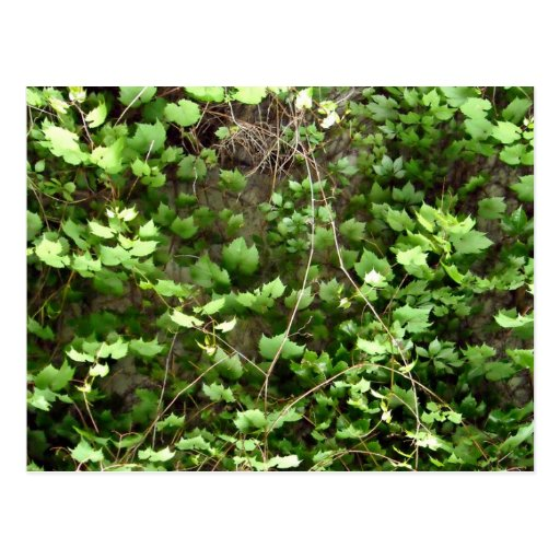 Green Hedge with tiny yellow flowers Post Cards