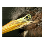 Green Heron Baby Postcard